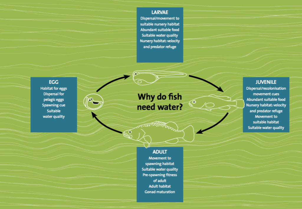 Figure 1. The influence of flows on the different stages within the life cycle of fish.